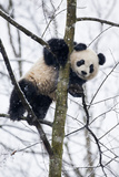 China  Chengdu Panda Base Baby Giant Panda in Tree