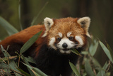 China  Chengdu  Wolong National Natural Reserve Red or Lesser Panda Eating