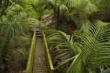 Nikau Palms and Footbridge at Parry Kauri Park  Warkworth  Auckland Region  North Island