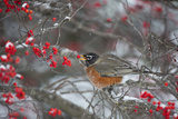 American Robin Eating Berry in Common Winterberry Bush in Winter  Marion County  Illinois