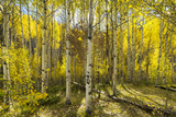 Golden Quaking Aspen in Full Fall Color  Kinney Creek  Colorado