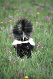 Striped Skunk in Field of Flowers  Montana