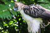 Philippine Eagle  Davao  Mindanao  Philippines