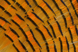 Golden Pheasant Feather Fan Design