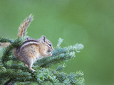 Endemic Olympic Chipmunk Feeds on New Growth of Subalpine Fur Needles
