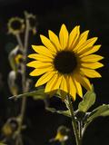 USA  New Mexico  Santa Fe Backlit Sunflower