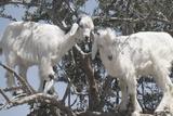 Morocco, Road to Essaouira, Goats Climbing in Argan Trees Papier Photo par Emily Wilson