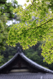 Ornately Designed Roof and Japanese Maple Leaves at the Golden Temple  Kyoto  Japan