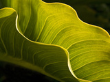 USA  California  Big Sur  Calla Lily Leaf at Garrapata State Park