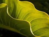 USA  California  Big Sur  Calla Lily Leaf at Garrapata State Park