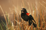 Red-Winged Blackbird Male Singing  Displaying in Wetland  Marion  Il
