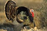 Rio Grande Wild Turkey Gobbler Strutting  Starr County  Texas