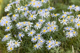 Mongolia  North Central Mongolia  Hustai National Park  a Mongolian Aster