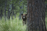 USA  Colorado A Cinnamon Phase Black Bear in Forest