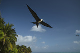 Magnificent Frigatebird  Half Moon Caye  Lighthouse Reef  Atoll  Belize