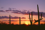 Arizona  Saguaro National Park  Saguaro Cacti are Silhouetted at Sunset in the Tucson Mountains