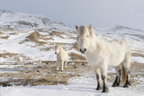 Icelandic Horse with Typical Winter Coat  Iceland