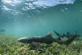Nurse Shark  Marine Megafauna Research Maralliance  Half Moon Caye  Lighthouse Reef  Atoll  Belize