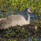 Just Hatched  Sandhill Crane on Nest with First Colt  Florida