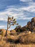 USA  California  Joshua Tree National Park Joshua Trees in Mojave Desert