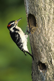 Hairy Woodpecker Male at Nest Cavity  Marion County  Illinois