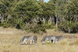 Khwai Concession  Okavango Delta  Botswana