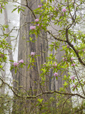 USA  California  Del Norte Coast Redwoods State Park  Blooming Rhododendrons in Fog with Redwoods