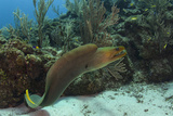Green Moray  Hol Chan Marine Reserve  Ambergris Caye  Belize