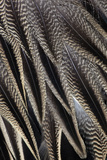 Northern Pintail Feather Detail
