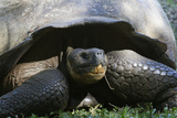 Giant Tortoise  Highlands of Santa Cruz Island  Galapagos Islands