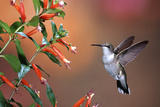 Ruby-Throated Hummingbird Female at Cigar Plant  Shelby County  Illinois