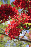 The Bright Red Flowers of the Flame Tree  Queensland  Australia