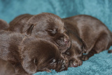 Pile of Sleeping Labrador Retriever Puppies