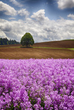 USA  Oregon  Farming in the Willamette Valley of Oregon with Dames Rocket Plants in Full Bloom