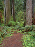 USA  California  Prairie Creek Redwoods State Park  Trail Leads Through Redwood Forest in Spring