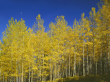 USA  Colorado  Gunnison National Forest Autumn Colored Aspen Grove Beneath Moon and Blue Sky