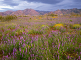 USA  California  Joshua Tree National Park  Spring Bloom of Arizona Lupine