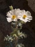 USA  California  Anza-Borrego Desert State Park Prickly Poppy on Palm Canyon Trail