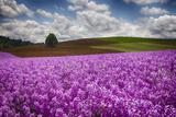 Oregon  Willamette Valley  Farming in the Willamette Valley with Dames Rocket Plants in Full Bloom