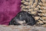 Sleeping Standard Poodles Puppy