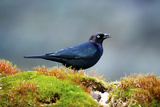 The Brewer's Blackbird  known for its Iridescent Coloring and Breeding Displays