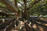 Moreton Fig Tree  Auckland Domain  Auckland  North Island  New Zealand