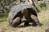 Giant Tortoise in Highlands of Floreana Island  Galapagos Islands