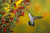 Ruby-Throated Hummingbird Female on Lady-In-Red Salvia  Shelby County  Illinois