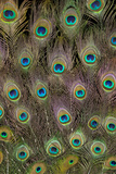 Male Peacock Tail Feathers