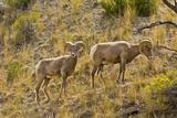 Male Bighorn Sheep  Feeding  Rescue Creek Area  Yellowstone National Park  Montana  USA