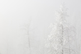 USA  Colorado  Pike National Forest Trees with Hoarfrost in Fog
