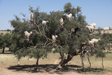 Morocco  Road to Essaouira  Goats Climbing in Argan Trees