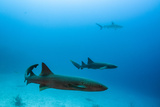 Nurse Shark and Caribbean Reef Shark  Maralliance  Half Moon Caye  Lighthouse Reef  Atoll  Belize