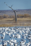 Ross's and Snow Geese in Staging Pond with Predator in the Snag  Bosque Del Apache Nwr  New Mexico